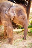 Baby elephant eat grass. Little baby elephant eat green grass in Thailand royalty free stock photography