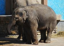 Baby elephant eating. Near the mother Stock Image