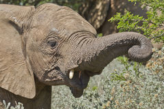 Baby elephant eating Royalty Free Stock Image