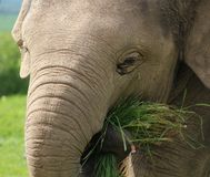 A baby Elephant Royalty Free Stock Photo