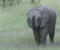 Baby Elephant, eating grass royalty free stock photography