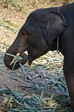 Baby elephant eating leaves. Detail of indian elephant baby eating leaves in thailand Royalty Free Stock Image