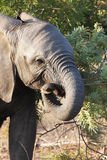 Baby elephant eats branch of acacia. Stock Image