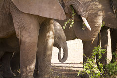 Baby elephant eats in Serengeti Royalty Free Stock Photos