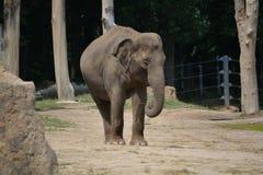 Baby elephant (Elephas maximus). Asian baby elephant in the Prague ZOO Royalty Free Stock Images
