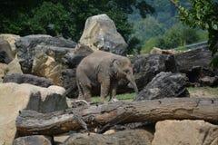 Baby elephant (Elephas maximus). Asian baby elephant in the Prague ZOO Royalty Free Stock Image
