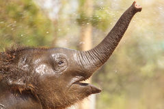 Baby elephant enjoying water. Asian baby elephant playing and enjoying water, this image was capture in tadoba andheri tiger reserve Stock Photos