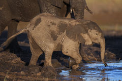 Baby Elephant Entering water Stock Image