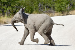Baby Elephant - Etosha, Namibia. Baby Elephant in the wild in Etosha National Park, Namibia, Africa Stock Photo