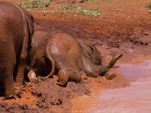 Baby elephant falling in mud Royalty Free Stock Photos