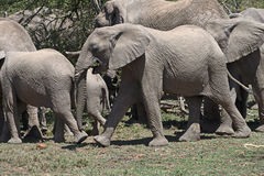 Baby Elephant with Family. Baby elephant struts alongside his family Royalty Free Stock Images