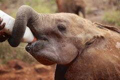 Baby Elephant Feed Stock Photography