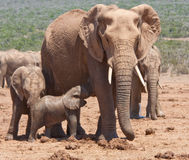 A baby elephant feeding in Addo Safari Park Royalty Free Stock Image