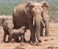 A baby elephant feeding in Addo Safari Park. A baby elephant feeding from its mother in the Addo National Park near Port Elizabeth, South Africa Royalty Free Stock Image