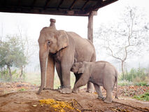 Baby Elephant Feeding Royalty Free Stock Photography