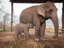 Baby Elephant Feeding Stock Photography