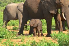 Baby elephant feeling safe Stock Photography