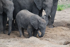 Baby Elephant Finds Water stock photo