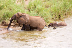 Baby elephant following his mother. Through the river Royalty Free Stock Photos