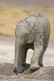 Baby elephant full of white mud Stock Photo