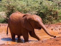 Baby elephant getting out of water Royalty Free Stock Photo