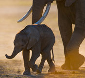 Baby elephant it goes close to his mother. Africa. Kenya. Tanzania. Serengeti. Maasai Mara. Stock Images