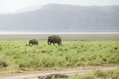A baby elephant in the grassland Stock Photography