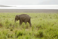 A baby elephant in the grassland Stock Image