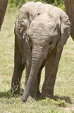 Baby elephant grazing. Young elephant standing and grazing with family in the background stock photos