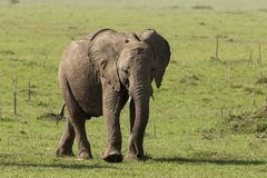Baby elephant grazing on grass. A baby elephant grazing on the grasslands of the Maasai Mara, Kenya stock images