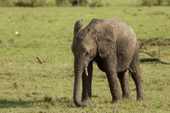 Baby elephant grazing on grass. A baby elephant grazing on the grasslands of the Maasai Mara, Kenya stock photography