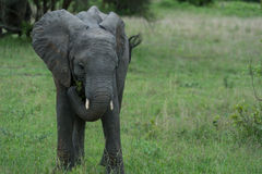 Baby elephant grazing Stock Photography