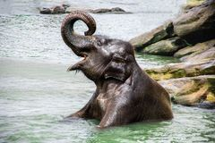 Baby Elephant has fun taking a bath in the river stock image