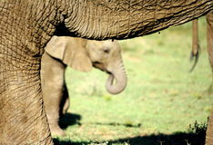 A baby elephant through her mothers legs Royalty Free Stock Photos