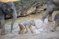 Baby elephant in a herd of elephants Royalty Free Stock Photos