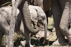 Baby Elephant with Herd. Baby elephant resting in the sun with his parents by his side Stock Photography