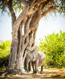 Baby Elephant Hiding Under Tree Royalty Free Stock Images