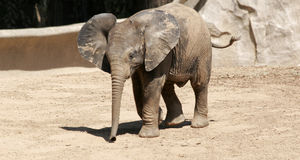 Baby Elephant with his ears out and trunk down. A baby elephant, with his ears out and trunk hanging down stock photos