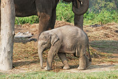 Baby elephant with his mother Stock Photography