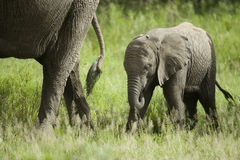 Baby elephant and his mother Stock Photography