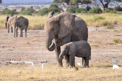 Baby Elephant and his mother Stock Image