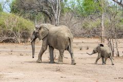 Elephants mother and child running. Two elephants, mother and little child in Zambia running royalty free stock images