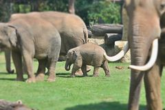 The baby elephant. With his parrents Stock Photography