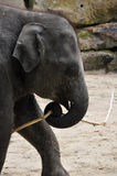 Baby elephant holding a stick Royalty Free Stock Photos