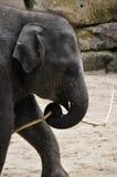 Baby elephant holding a stick Royalty Free Stock Photos