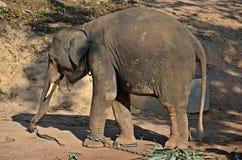 Baby elephant. Indian elephant baby eating leaves in thai island ko lanta royalty free stock image