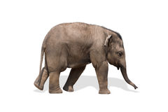 Baby elephant. Isolated on white. Clipping path included royalty free stock image