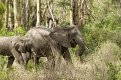 Baby elephant and its mother Stock Photo