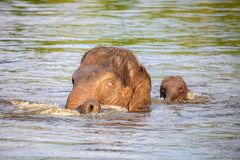 Baby elephant and its mother Stock Image