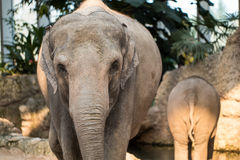 Baby elephant and its mother at the zoo walking around. A mother elephant walking around with her baby elephant Royalty Free Stock Images